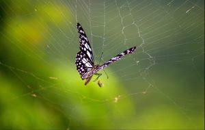vlinder in web